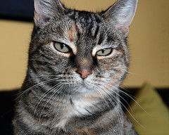 The Art of Feline Expression (J Bespoy Photography) Tags: canada face closeup cat feline bc expression britishcolumbia tabby lilly newwestminster torbie supershot allrightsreserved catmoments oldd80withashortylens