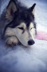 [フリー画像] 動物, 哺乳類, イヌ科, 犬・イヌ, シベリアン・ハスキー, 201103231700