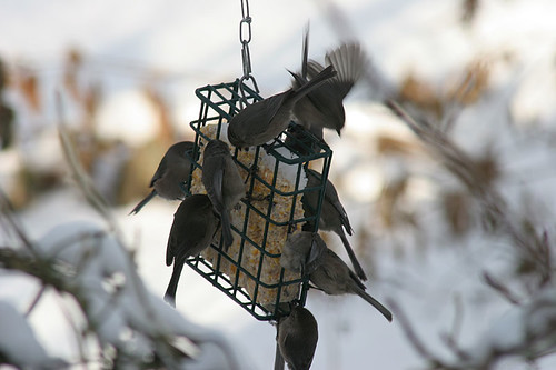 Visitors to our suet cage - Bush Tits