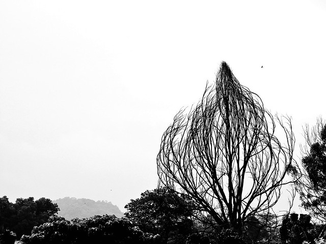 IMG_1504 Dead tree , black and white  , 枯树,Ipoh
