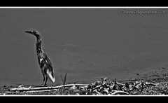 Looking for a company.. (Vivek Rajendran Photography) Tags: light sea summer bw india white holiday black bird art nature water river landscape photo asia exposure flickr crane picture incredible tamilnadu trichy saurus
