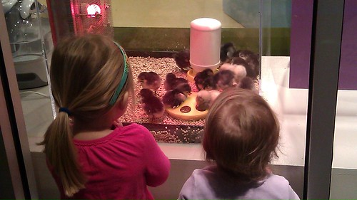 Watching the baby chicks at Children's Museum