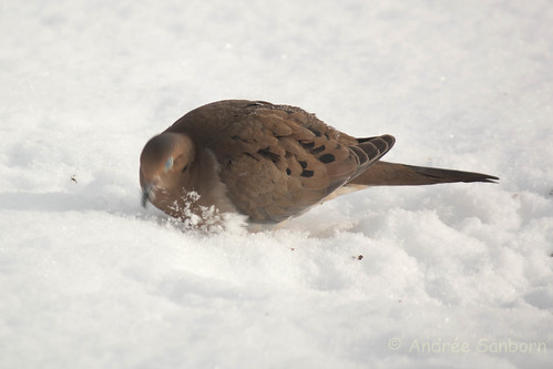 Mourning dove (23 of 44).jpg