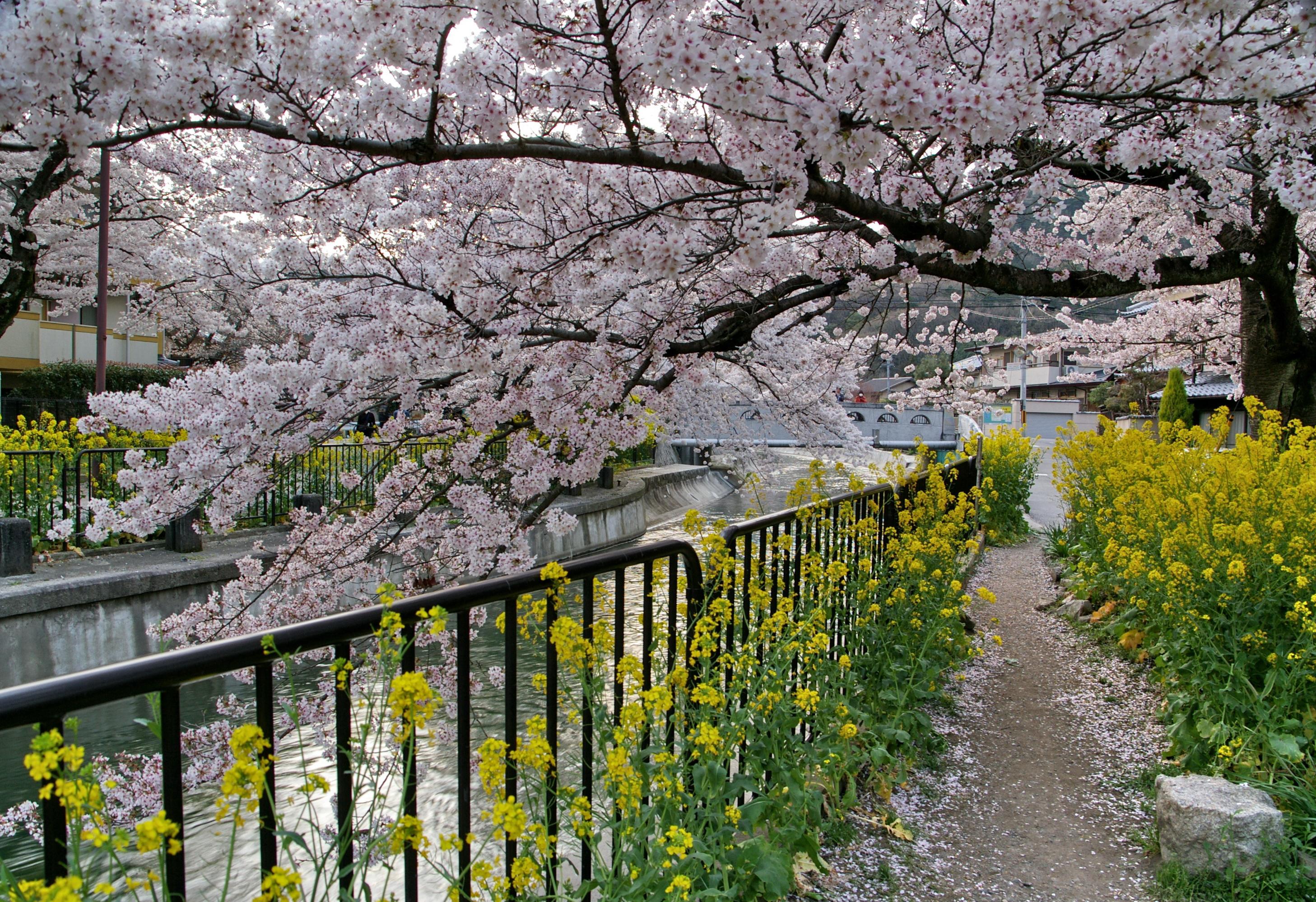 京都賞櫻內行人的景點:山科疏水之櫻花/油菜花 | 林氏璧和美狐團三狐的小天地