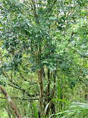 遭盜採的日本山茶在2010年由調查團隊拍下的面貌。圖片來自:蘇夢淮。