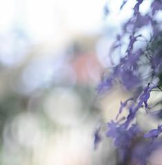 (Fransois) Tags: flowers blur fleurs garden botanical nikon montréal bokeh softness jardin mauve diaphanus botanique flou douceur diaphane d7000