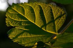 awry (keriarpi) Tags: awry leaf green sun natura light print