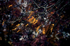 50 Shades of Autumn - EXPLORE (miss.interpretations) Tags: merlot autumn gold leaves trees bare branches yellow red plum scarlet fall outsid nature fallingleaves coloradosprings colorado canonm3