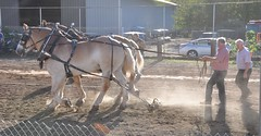 2016 Durham CT Fair (caboose_rodeo) Tags: 1009 drafthorsepulling drafthorse belgians dust baclit contest
