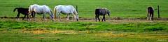 Landscape Horses (JaapCom) Tags: jaapcom horses paarden animals landscape wezep ijsselvliedt
