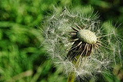 Dandelion (Michael Schnborn) Tags: hx400v hx400 dschx400v sony carlzeiss handheld macro closeup flower outside garden dandelion lwenzahn seed detailed green