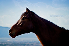 Lucky and the Big Blue Sky (Pony girl2 (catching up..again)) Tags: portrait horse pasture lucky galope tennesseewalker