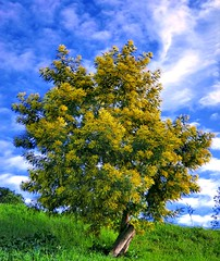 Mimosa HDR (doctormauri73 - amateur photographer) Tags: winter italy color tree landscape this italia colore touch casio un di nights mimosa inverno infinito exilim hdr questo z800 endless 1001 velletri tocco natureplus flickraward platinumpeaceaward