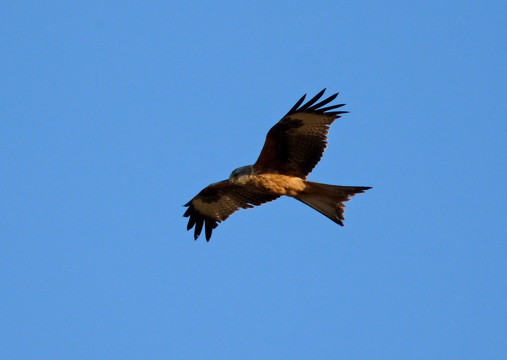 23900 - Red Kite, Rhossili, Gower