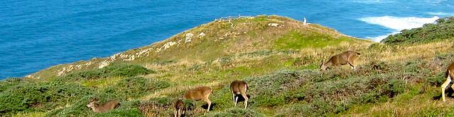 Point Reyes Deer