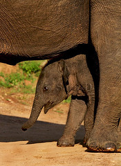 Boundary (Sara-D) Tags: elephant nature maximus yala elephasmaximus elephas