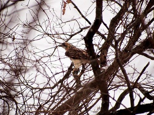 North Edison Red Tailed Hawk