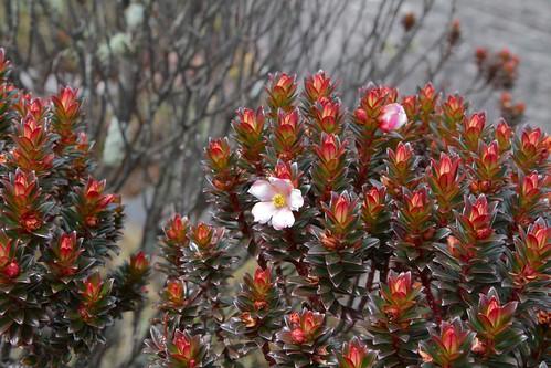 Bonnetia roraimae (Bonnetiaceae)