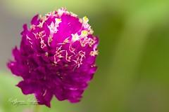Flowers & Cactus (zuan.hm) Tags: cactus orchid flower fauna canon flora orchids borneo carnation brunei gadong darussalam ef100mm bruneidarussalam eos7d canoneos7d
