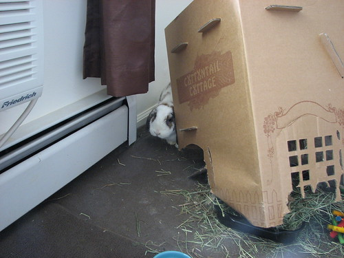 betsy peeks around from behind the toppled cottontail cottage