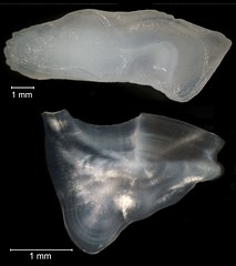 Southern Kingfish Otolith (FWC Research) Tags: fish florida research otolith