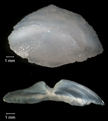 Mutton Snapper Otolith (FWC Research) Tags: fish florida research otolith
