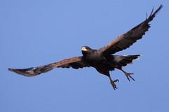 Harris Hawk (thomasryan) Tags: arizona southwest bird nature birds wings tucson wildlife flight raptors avian birdsofprey hawks