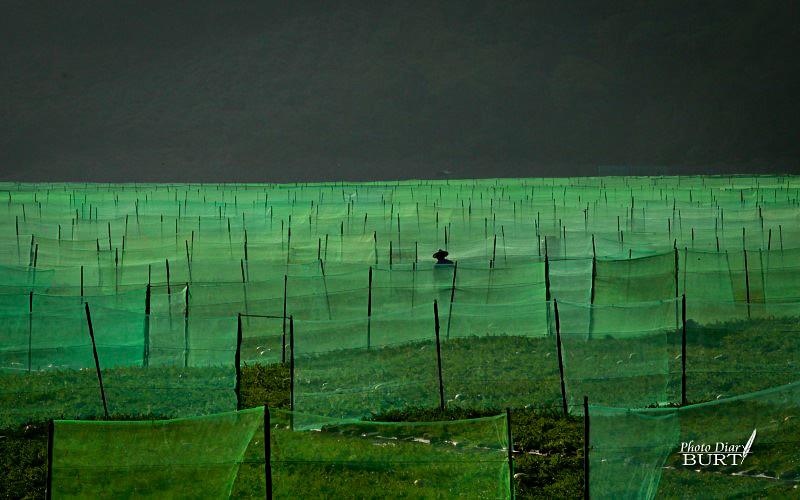 2011枋山溪上西瓜田裏的農夫