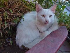 Cat in Marrakech. (elsa11) Tags: pet cats pets cat kitten kitty morocco maroc stray marrakech marrakesh poes marokko straycat