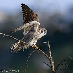 An Afternoon Kestrel (Patricia Ware) Tags: california ngc raptor ballonacreek nearlax allrightsreserved americankestrelfalcosparverius canon40d californiacanon40d 300mmlenswith14teleconverter bestofblinkwinners