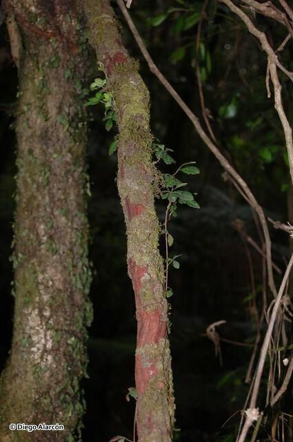 <br><br><br><i>Cissus striata</i> es una trepadora leñosa. sus vástagos forman crecimiento secundario en grosor, adquiriendo un leño de forma irregular y de corteza colorada, como se aprecia en la imagen, tomada en el Monumento Natural Contulmo, Región de la Araucanía.
