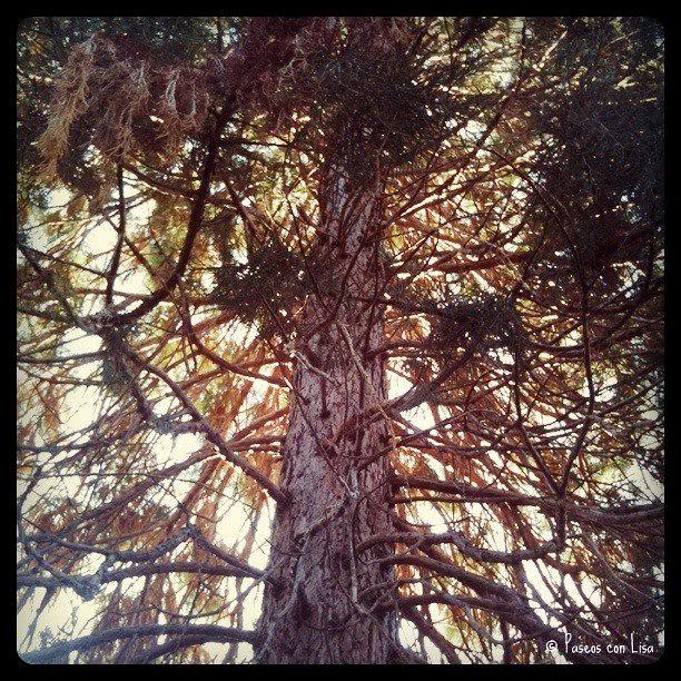 (292) ¿Sabéis a qué género pertenece este árbol? ¡Yo sí!