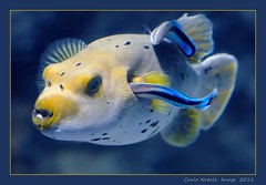 Genoa Acquarium  - 36 (cienne45) Tags: italy liguria acquarium cienne45 carlonatale genoa puffer natale acquario acquariodigenova specanimal ghesemmu