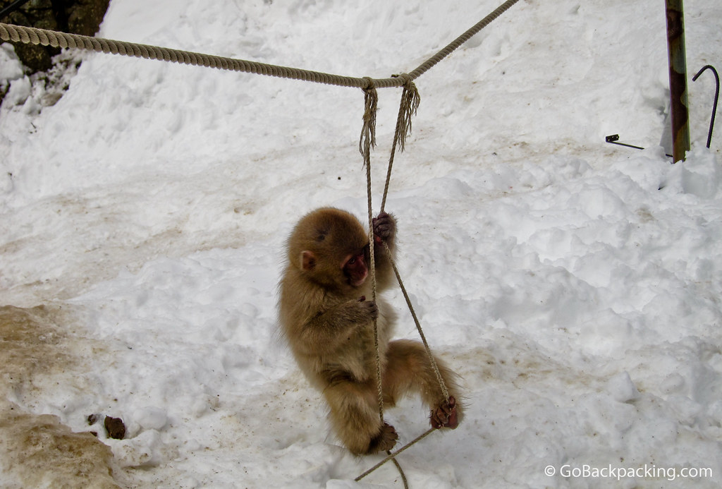 A baby snow monkey playing on the ropes.