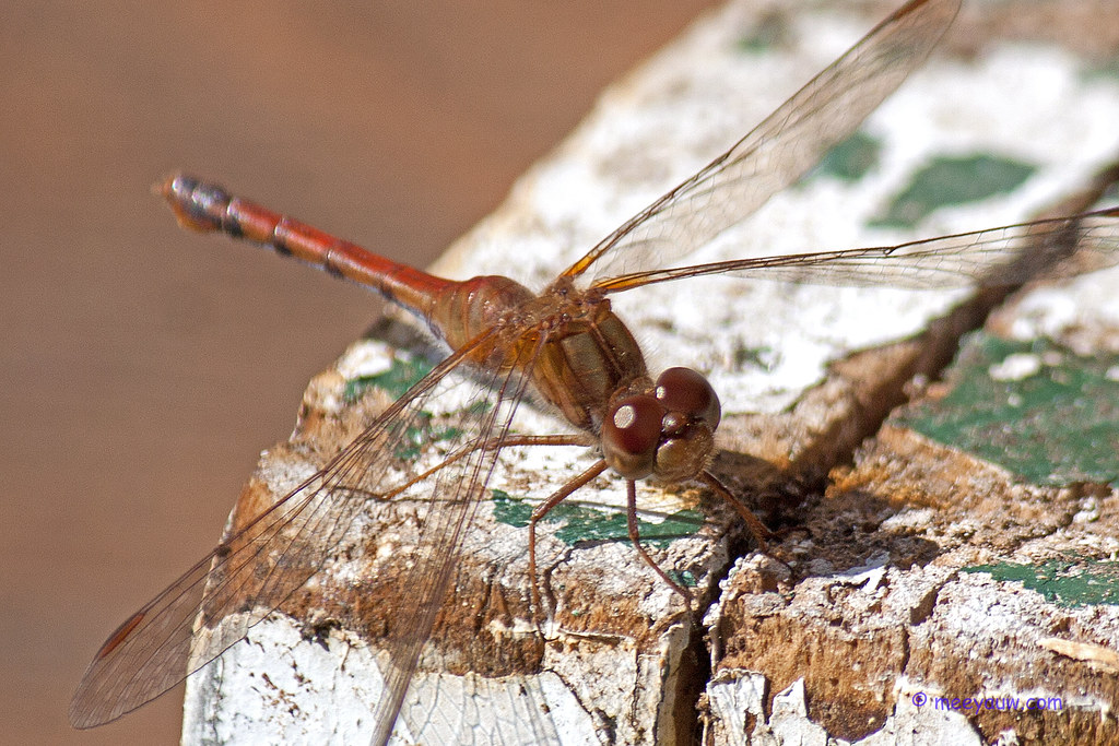 Saffron-winged Meadowhawk10.jpg
