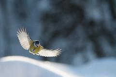 Blue Tit - Cyanistes caeruleus (L.Mikonranta) Tags: blue bird nature birds canon finland eos is tit flight 300mm 7d l ef f4 caeruleus parus cyanistes sinitiainen canonef300mmf4lisusm parcae canoneos7d copyright©lm
