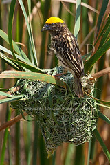 Streaked Weaver (Sara-D) Tags: male nature birds canon nest wildlife aves breeding srilanka ceylon weaver streaked nesting ploceidae ploceus asianwildlife birdsofsrilanka breedingmale streakedweaver ploceusmanyar manyar slbnesting birdsofsouthasia wildsrilanka