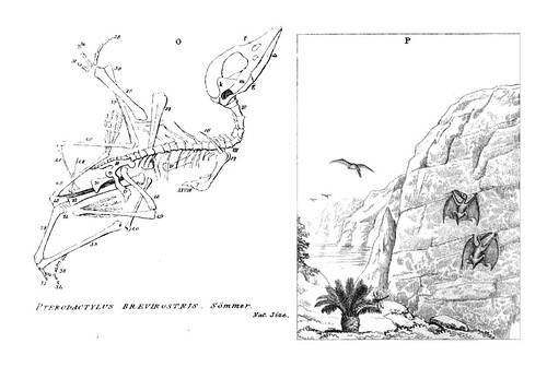 Pterodactylus brevirostris, 1836