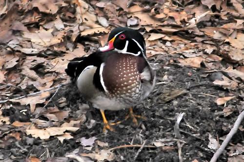 wood duck 2 24 2011