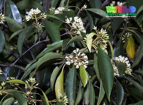 Belalang puak (Pittosporum ferrugineum)