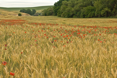 River of poppies 4602
