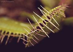~56/365~ (DocUNC) Tags: plant macro canon fly dof bokeh eating pad creepy eat flies 365 trap seymore carnivore venusflytrap littleshopofhorrors dionaeamuscipula project365 5dmk2 docunc