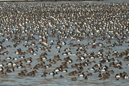 11-Ducks-0553