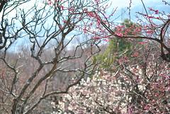 DSC_3947 (alexxis) Tags: flowers japan kobe  plumblossom   2011 d3000