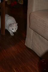 Dingo... (asbruff) Tags: topo cat felino gatto bianco dingo pelo vispo criceto mandingo peloso agguato attento bestofcats
