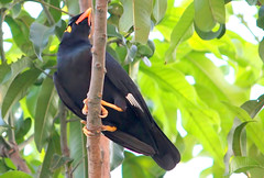 Hill Myna (gracula indica) (Thai pix Wildlife photography,,) Tags: nature birds thailand wildlife gracula graculaindica earthasia totallythailand