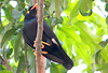 Hill Myna (gracula indica) (Thai pix Wildlife photography,,) Tags: nature birds thailand wildlife gracula graculaindica earthasia totallythailand