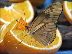 Dryas Julia - Enjoying the oranges (wynjym) Tags: ontario butterfly niagarafalls magical soe specinsect faceoffwinner flickrelite photofaceoffwinner pfogold