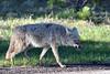Coyote (Larry1732) Tags: coyote newmexico caldera nm losalamos vallescaldera lamsa