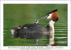 Australasian Crested Grebe and chick (truubloo) Tags: new lake bird birds feeding jonathan chick parent zealand alpine nz feed crested grebe australasian interaction harrod